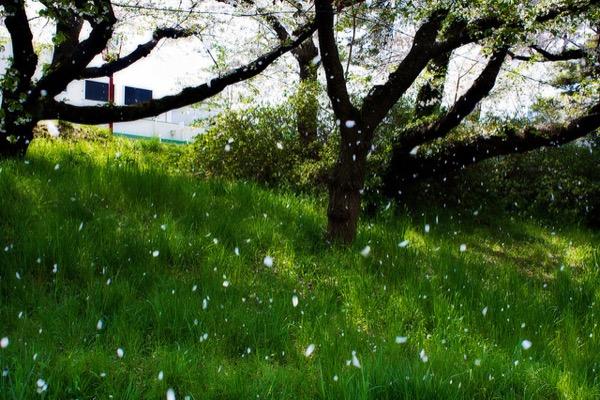 A Blizzard of Sakura